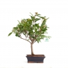 Camellia - 47 cm