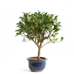 Camellia - 57 cm