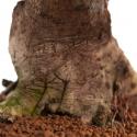 Pyracantha coccinea - 54 cm