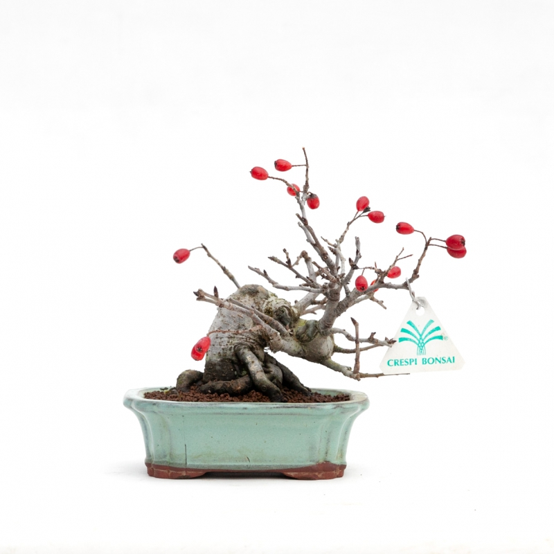 Pourthiaea villosa - 16 cm