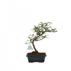 Zanthoxylum - Pepper tree - 32 cm