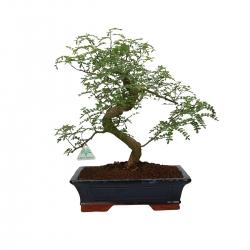 Zanthoxylum - Albero del pepe - 43 cm