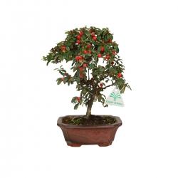 Cotoneaster - cotognastro - 25 cm