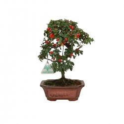 Cotoneaster - 25 cm