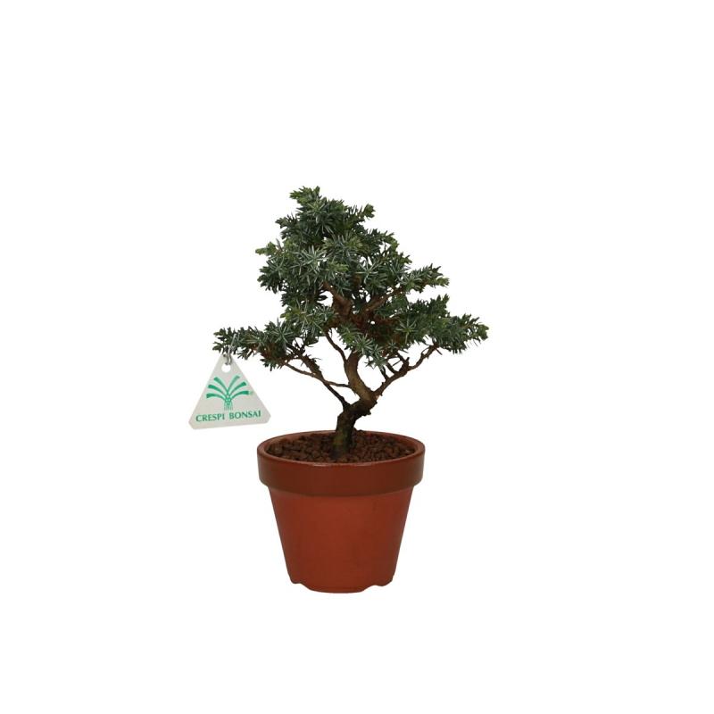 Juniperus rigida - 23 cm