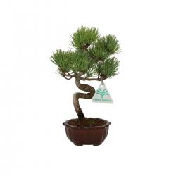 Pinus pentaphylla - Pino - 24 cm