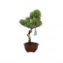 Pinus pentaphylla - Pine - 24 cm