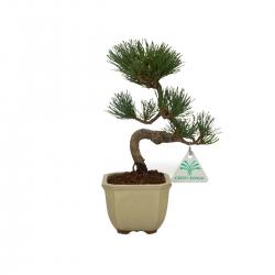 Pinus pentaphylla - Pin - 24 cm