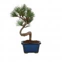 Pinus pentaphylla - Pino - 23 cm