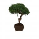 Juniperus chinensis - 25 cm
