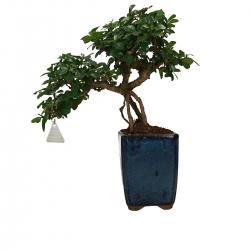 Carmona macrophylla - Pianta del tè - 39 cm