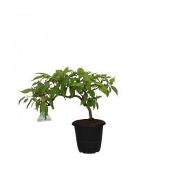 Callicarpa japonica - 24 cm