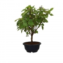 Callicarpa japonica - 40 cm