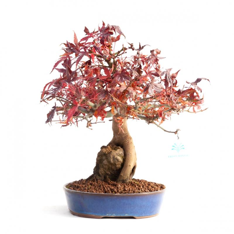 Acer palmatum - 29 cm