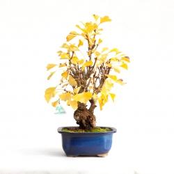 Ginkgo biloba - 39 cm