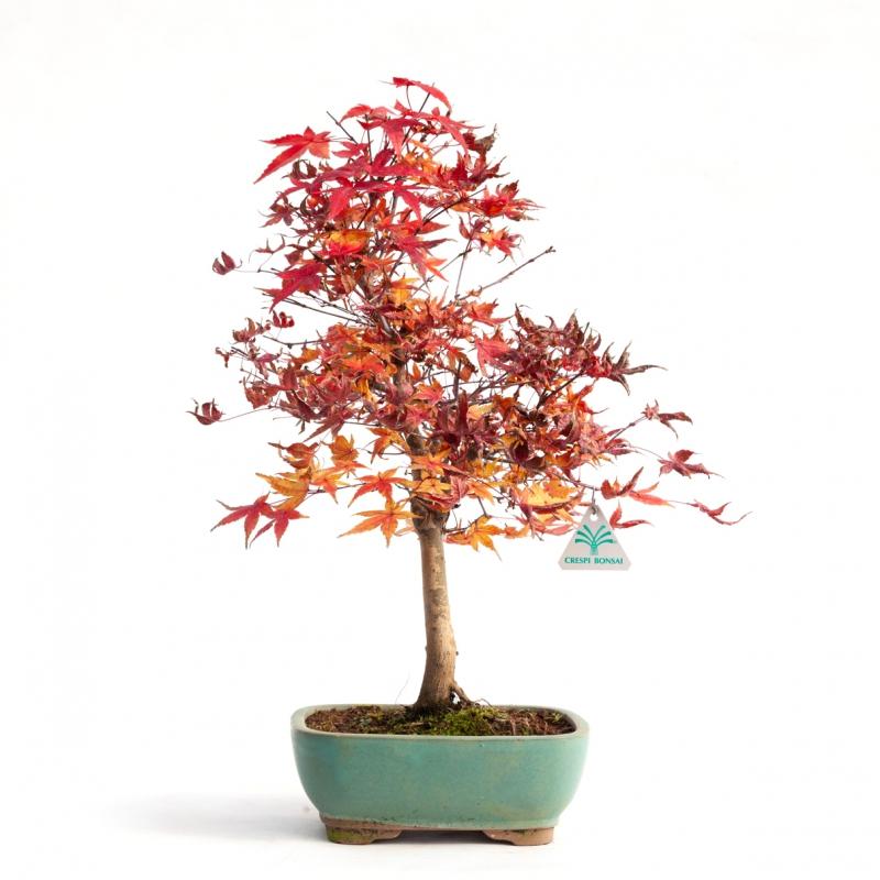 Acer palmatum deshojo - 43 cm