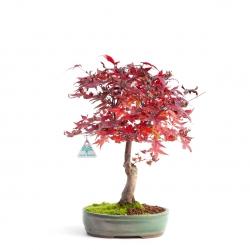 Acer palmatum - 38 cm