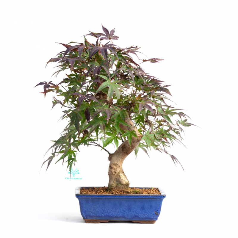 Acer palmatum saigen - 40 cm