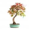 Acer palmatum saigen - maple - 47 cm
