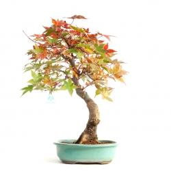 Acer palmatum saigen - acero - 47 cm