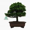 Chamaecyparis obtusa sekka - False Cypress - 25 cm