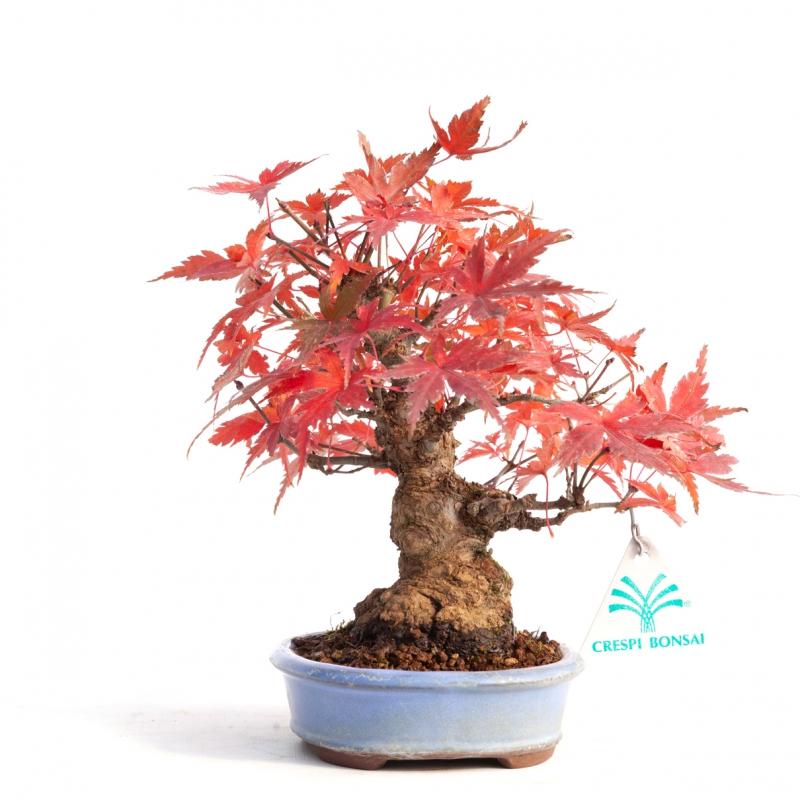 Acer palmatum - acero - 18 cm