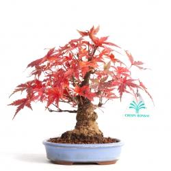 Acer palmatum - érable - 18 cm