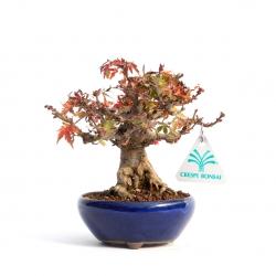 Acer palmatum kotohyme - 16 cm