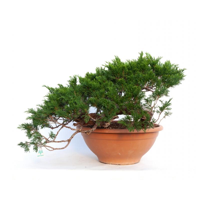 Juniperus sabina - 46 cm