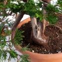 Juniperus sabina - 40 cm