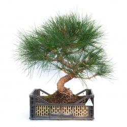 Pinus thunbergii - 69 cm