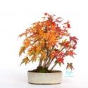 Acer palmatum viridis - 24 cm