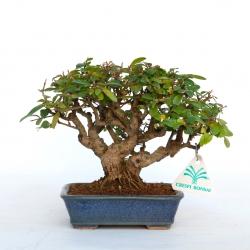 Ligustrum obtisifolioum - 15 cm