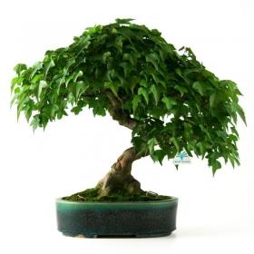 Acer buergerianum - acero - 48 cm