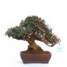 Trachelospermum asiaticum - 23 cm