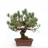Pinus pentaphylla - 30 cm