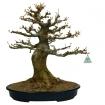 Acer buergerianum - érable - 51 cm