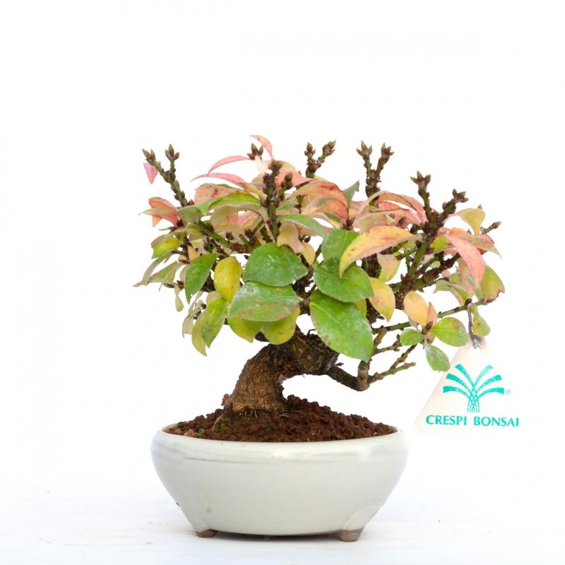 Euonymus alatus - 15 cm