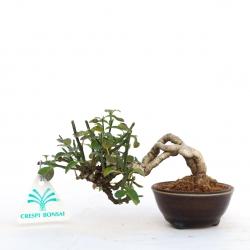 Jasminum nudiflorum - 9 cm