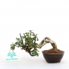 Jasminum nudiflorum - Winter jasmin - 9 cm