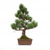 Pinus pentaphylla - 44 cm