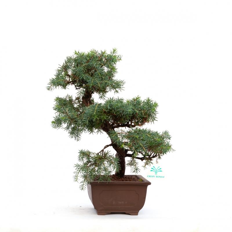 Juniperus rigida - 37 cm