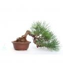 Pinus thunbergii - 21 cm