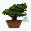 Chamaecyparis obtusa sekka - False Cypress - 15 cm