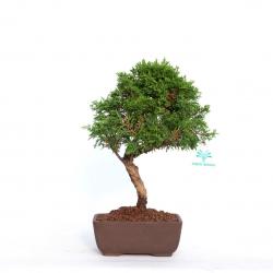 Juniperus chinensis - Juniper - 28 cm