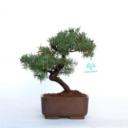 Juniperus rigida - Ginepro ad aghi - 20 cm