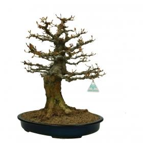 Acer buergerianum - acero - 51 cm