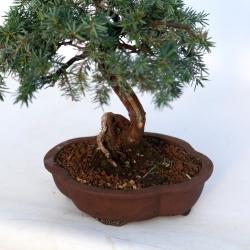 Juniperus rigida - Temple juniper - 29 cm