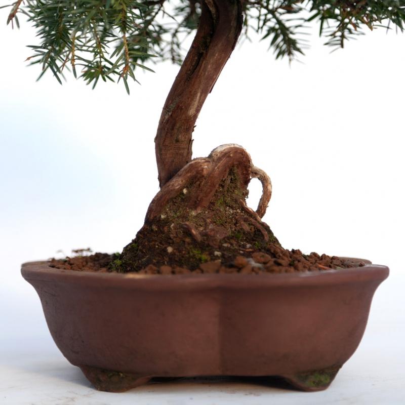 Juniperus rigida - Genévrier rigide - 29 cm