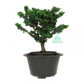 Chamaecyparis obtusa sekka - falso cipresso - 30 cm